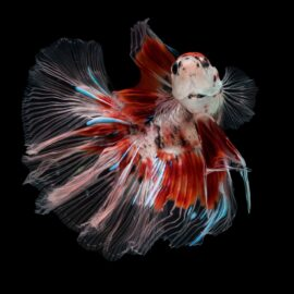 Ikan Cupang A